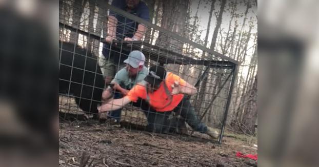 Amigos liberando a un jabalí que ha caído en una trampa