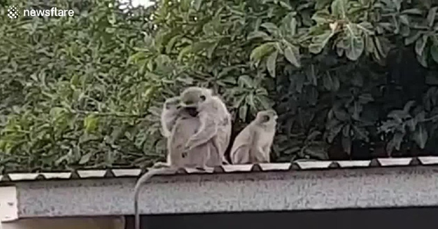 Conmovedor momento en el que un mono rehabilitado es liberado y se reencuentra con su familia