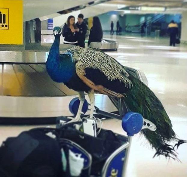 Una mujer intenta subir a un avión con su pavo real alegando que es su ''apoyo emocional''