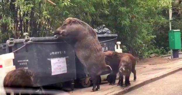'Pigzilla', el jabalí gigante que busca entre la basura