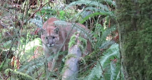 Sale al bosque a buscar cornamentas de ciervo y es acechado por un puma