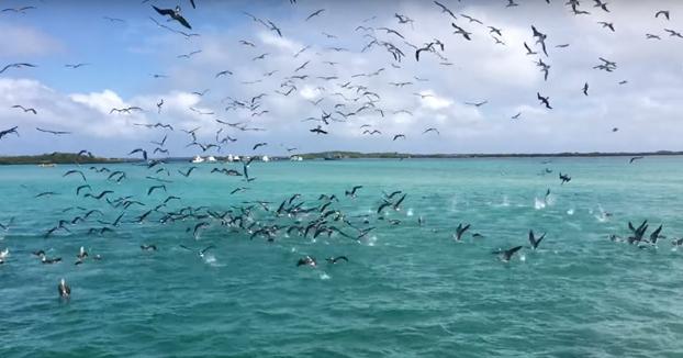 Boobies cazando en grupo en las Galápagos
