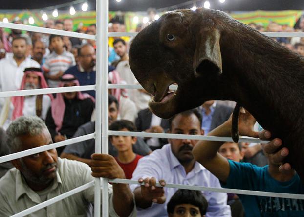 El extraño animal de un vídeo viral es una cabra de Damasco
