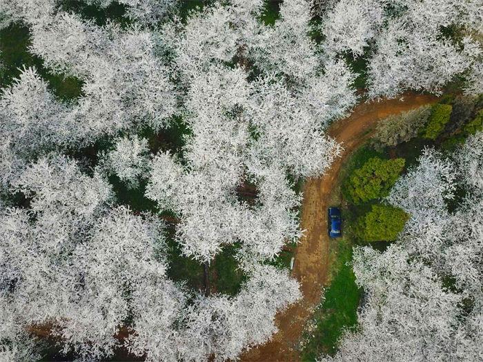 Han florecido los cerezos en China y es uno de los paisajes más increíbles del planeta