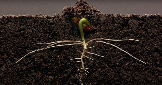 El crecimiento diario de una alubia