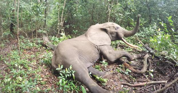 El despertar de un elefante en mitad de la selva después de haberle puesto un localizador
