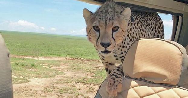 Susto en el safari: Un guepardo se sube al coche de un grupo de turistas en Tanzania