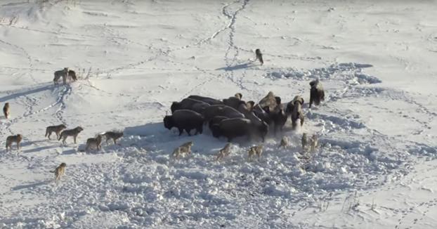 Ataque de una manada de lobos a un grupo de bisontes. Ojo al final