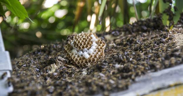 Enjambre de abejas destruye un nido de avispa asiática