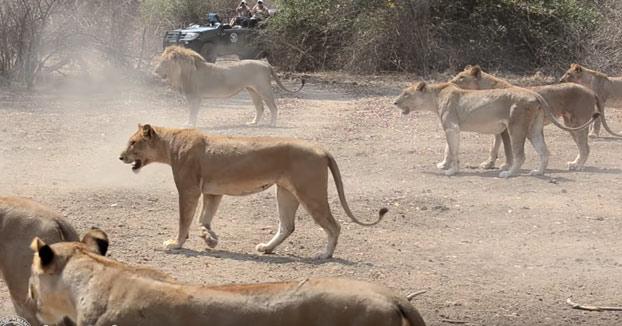 Una manada de 500 búfalos plantando cara al ataque de un grupo de leonas