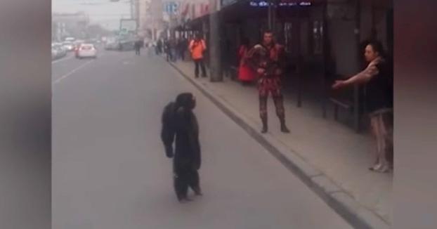 Un chimpancé se pasea por las calles de una ciudad rusa como un vecino más