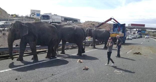 Un camión que transportaba elefantes de circo vuelca en la autovía A-30 en Albacete