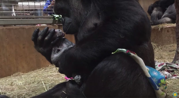 Gorila dando a luz