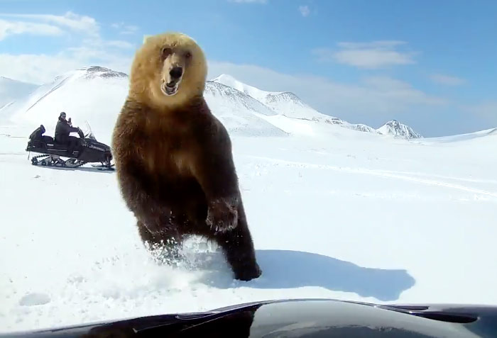 Dos hombres en moto de nieve persiguen a un oso y el animal, en un contraataque, intenta darle un zarpazo a uno de ellos
