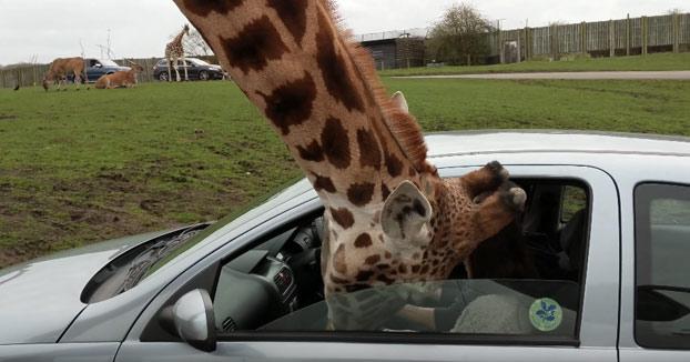 Estaban dándole comida a la jirafa desde el coche cuando de repente...