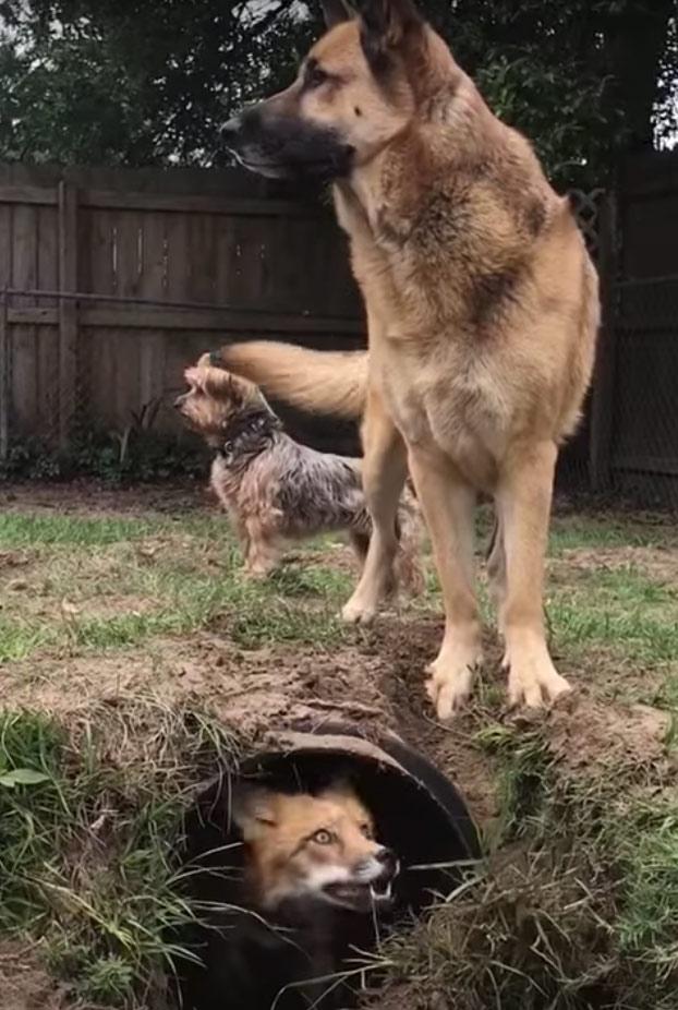 La diversión de este zorro al confundir a un perro escondiéndose bajo un túnel del jardín