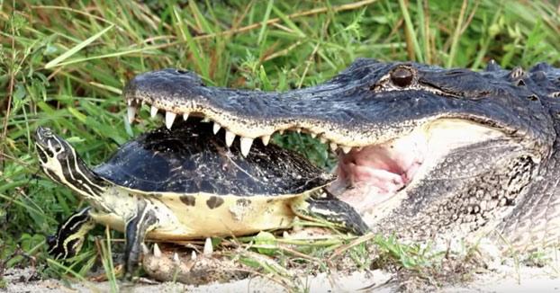 Misión imposible: Alligator intentando comerse una tortuga