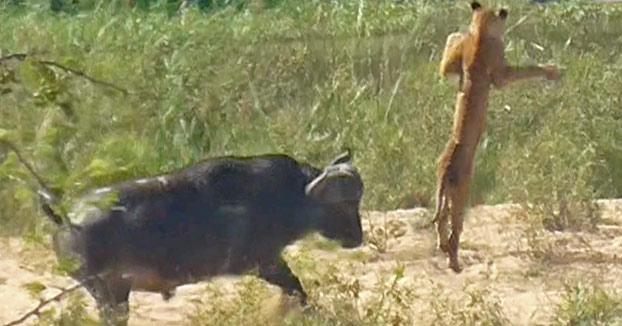 Un búfalo salva a un lagarto dándole una cornada a un león que sale volando por los aires