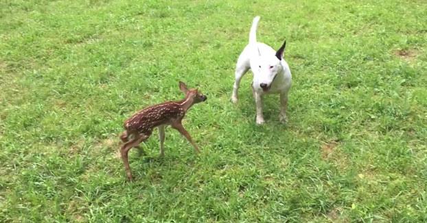 Hoy, en amistades extrañas: un bull terrier con un ciervo