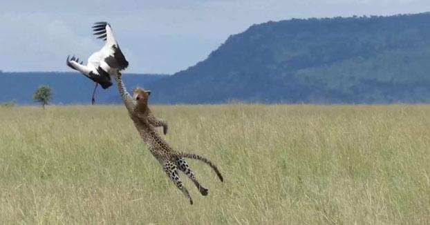 Una cigüeña consigue escaparse por muy poco del ataque de un leopardo
