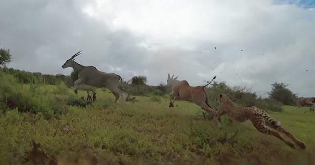 Vídeo de unos guepardos cazando grabado desde la perspectiva de uno de ellos