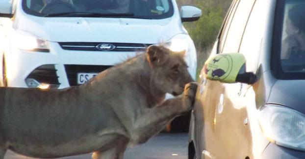 Una leona intenta abrir la puerta de un coche de turistas en Sudáfrica