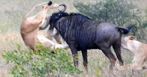 Un Ñu consigue liberarse del ataque de dos leonas enganchando a una de ellas por la pata de una cornada