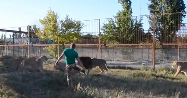 El director de un zoo ruso dispersa a un grupo de leones armado con una chancla
