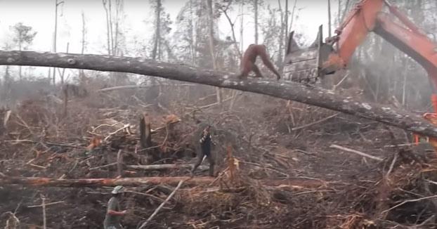 Un orangután ataca a una excavadora ilegal que amenaza su hábitat en Borneo