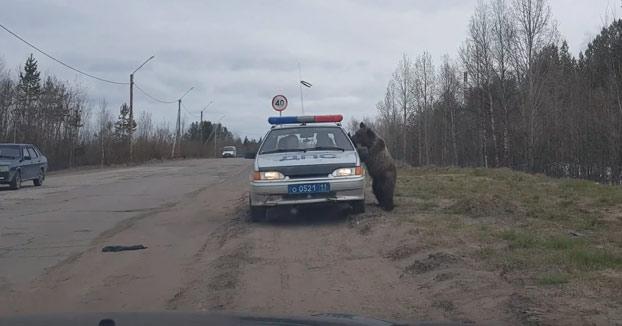 Dos policías estaban almorzando en el coche y a un oso le vino el olor a comida