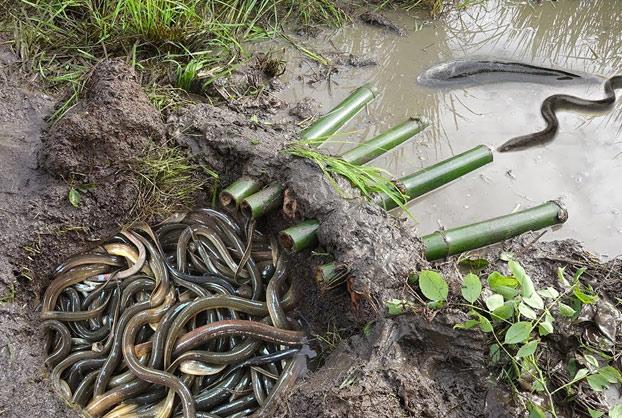 Trampa para anguilas y cangrejos