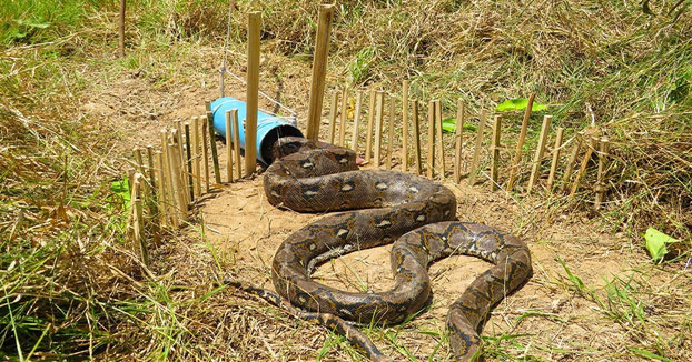 Trampa para pitones gigantes utilizando un tubo de PVC y unas ramas