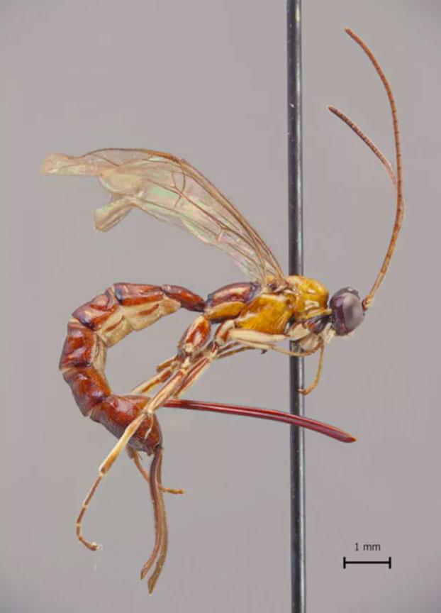 Esta nueva especie de avispa tiene un aguijón gigantesco con el que inyecta huevos al picar
