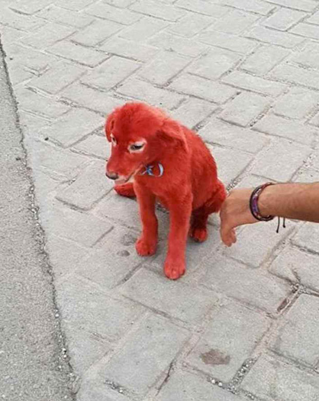 Una joven pide ayuda para el cachorro que encontró teñido de rojo