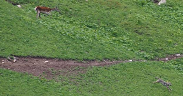 Un lobo escapa del ataque de un ciervo