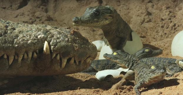 Cámara espía: Cocodrilo transportando a sus crías en la boca