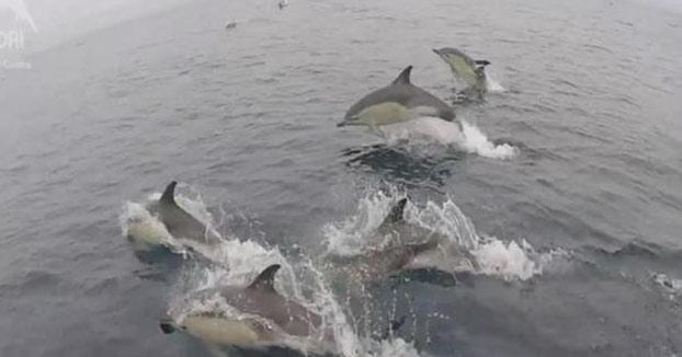 Espectáculo natural: avistan más de 3.000 delfines mulares en Galicia