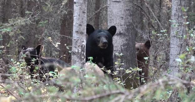 Estaba tan concentrado grabando a unos osos que no se dio cuenta de que se le habían acercado demasiado