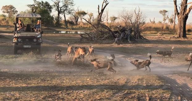 Una leona salva a su cría de ser comida por una manada de perros salvajes