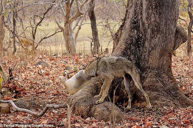 Rescatan a un lobo a punto de morir con la cabeza atrapada en un recipiente plástico