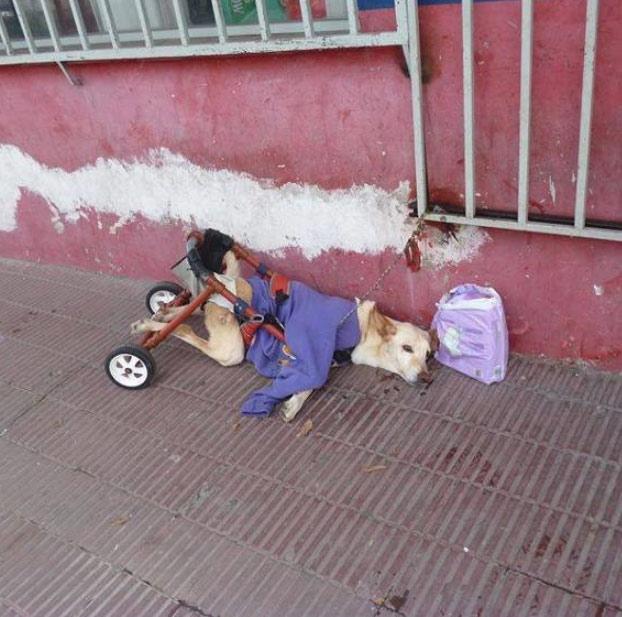 Lunita, una perrita discapacitada abandonada en una calle encadenada a una reja junto a una nota