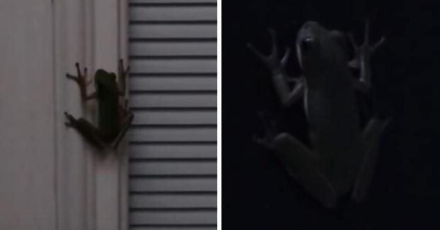 Esto es lo que ocurre cuando una rana se traga una luciérnaga