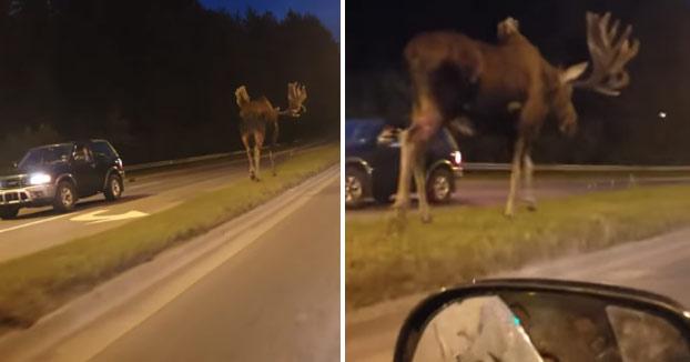 Mientras tanto, en Alaska... Un alce gigante se pasea por la carretera a medianoche