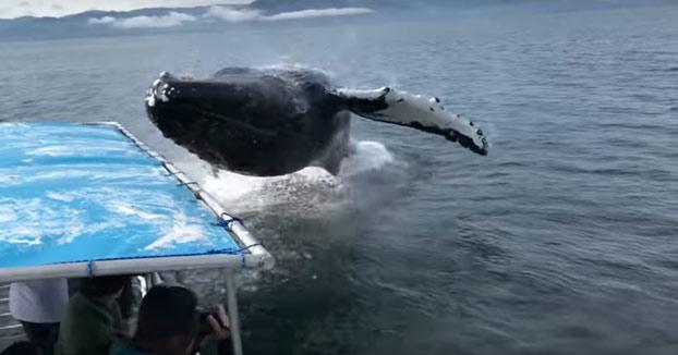 Turistas en un barco de avistamiento de ballenas cuando de repente una salta al lado de la embarcación