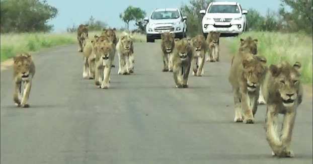 No es muy habitual ver un desfile como este por la carretera