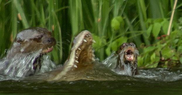 Un grupo de nutrias unen sus fuerzas para matar a un caimán