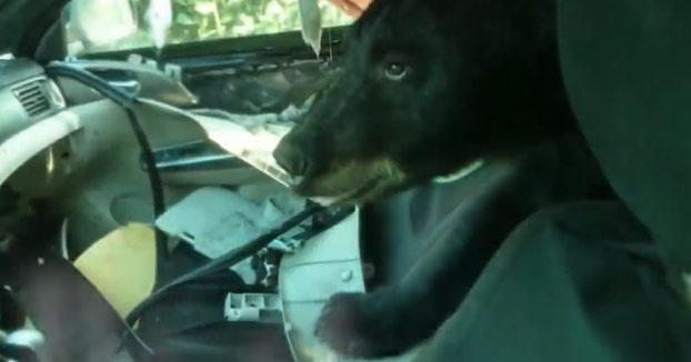 Un oso se queda atrapado en el interior de un coche y lo destroza por completo