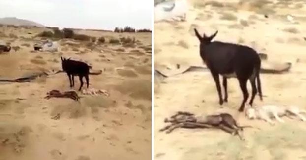 Un burro se venga del lobo que mató a su bebé