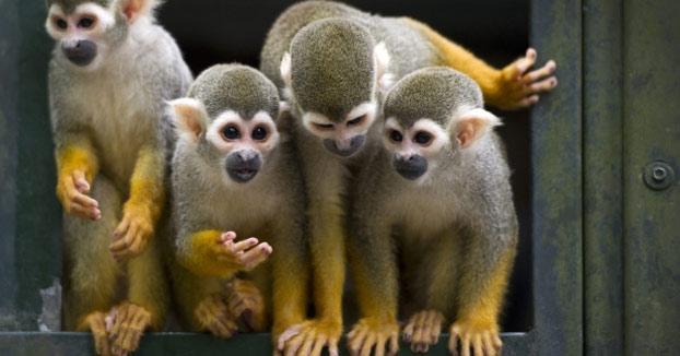 Un hombre se cuela en un zoo para robar un mono para su novia y acaba en una pelea con los simios