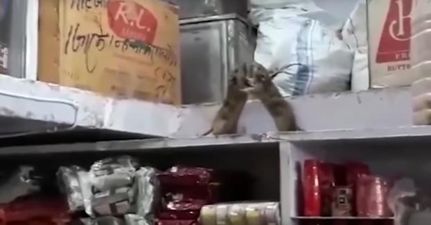 Pelea de boxeo entre dos ratas en la estantería de un restaurante en India